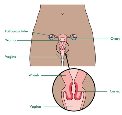 A labelled illustration of the cervix and surrounding structures