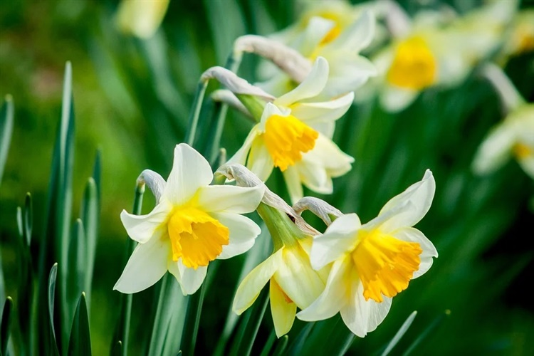 An image of daffodils growing in nature